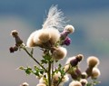 """""""Thistle Down The Wind"""""""