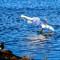 swan landing Welney  reserve