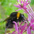 Bumblebee in Allium Flower, Kew Gardens