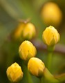 Miniature Yellows