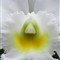 Yellow-centered White Orchid
