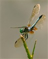 Blue Dasher Oblesking