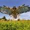 DGB_7837_Redtail Hawk Crop
