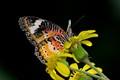 Shining Buterfly