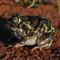 Metal-eyed frog