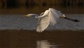 Great Egret in afternoon light