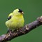 American Goldfinch Puffball 2
