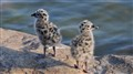 Sea-gull chicks