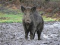 wild pig's paradise