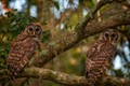 Seeing these owls more and more as the summer progresses.  This was shot from my front lawn.