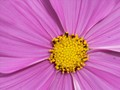 Yellow Core of Pink Cosmos
