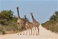 Giraffes of Namibia