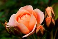 Creamy Peach Rose