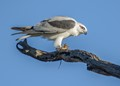 A Black-shouldered Kite caught a mouse at Ash Island near Newcastle, Australia