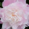Soft petals in soft color