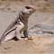 Desert Lizard, AZ