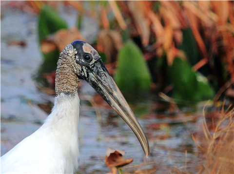Wood Stork - Adult Head