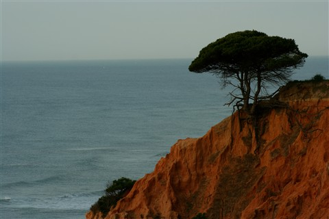 Cliff diving tree (Algarve, Portugal)