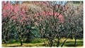 plum trees blossom