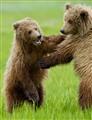 bears-M3S_7747