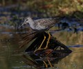 lesser-yellowlegs