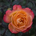 Miniature rose 9