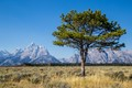 A lone tree stands in front of the majestic Teton Range in Wyoming.