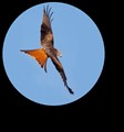 Red Kite telescope view