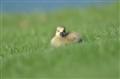 Baby Goose Sun-Bathing