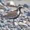 IMG_9196_pacific golden plover