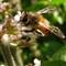 African worker bee copy