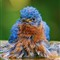 Wet Male Bluebird