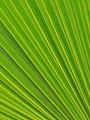 Palm leaf up close