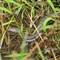 Northern Water Snake (North America)