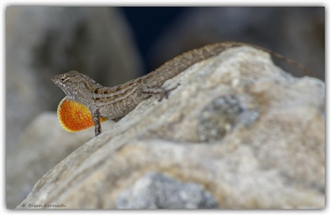 Brown anole (Anolis sagrei) with its orange dewlap fully displayed from its throat