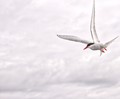 Artic Tern white sky