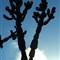 Catalina Cactus