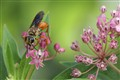 Wasp on Swamp Milkweed