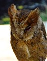 Philippine Scopes Owl