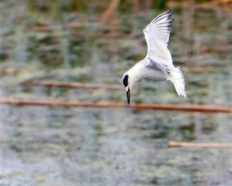 Forster's Tern fishing at Viera Wetlands (Sterna forsteri)