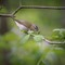 Red-eyed Vireo-