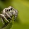 Jumping Spider perched