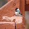 Chickadee (cropped)