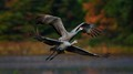 Flying Sand-hill Cranes