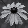 black eyed susan (1 of 1)