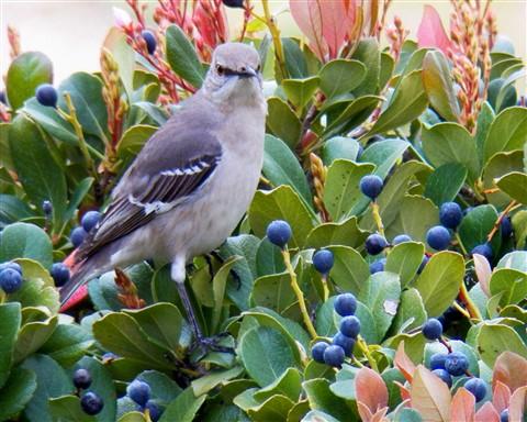 Mocking Bird in Hedge