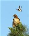 Mockingbird & Red Tailed Hawk