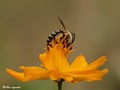 Sapygidae wasp 2