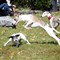 Jumping Whippet