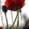 PoppySilhouette